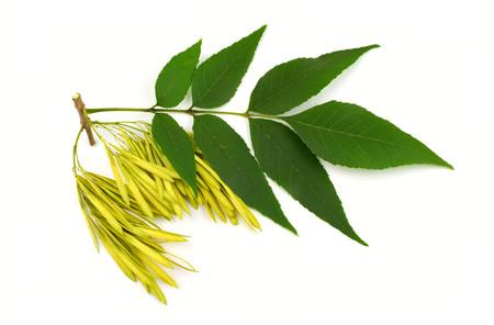 Fresno (Fraxinus) Ramita, semillas y hojas. Aislado sobre fondo blanco.