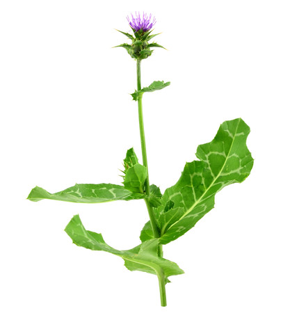 Milk Thistle Plant Isolated on White Background. Other Names: Silybum Marianum, Cardus Marianus, Blessed Milkthistle, Marian or Saint Mary Thistle, Mediterranean Milk or Variegated or Scotch Thistle. 스톡 콘텐츠