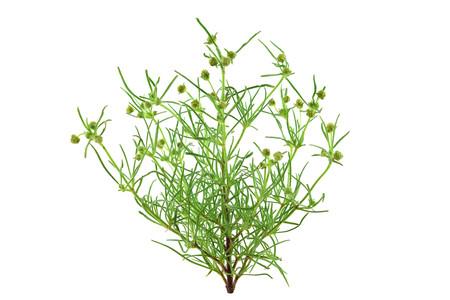 Plante médicinale de psyllium Plantago. L'enveloppe et les graines de psyllium (ispaghula) sont des suppléments alimentaires courants pour réduire le cholestérol et des ingrédients de fibres nettoyantes pour le côlon. Isolé sur fond blanc.