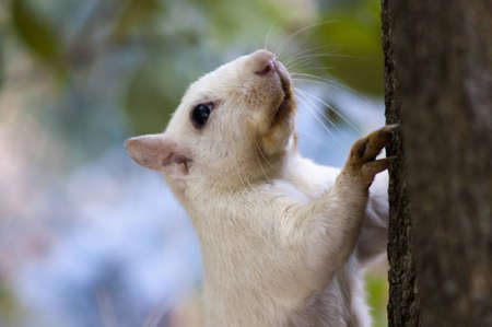 A close-up of a white squirrel climbing the trunk of a tree