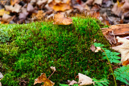 Moss texture with autumn leaves. Mossy, grass. Pictured Rocks National Lakeshore, Munising, USA