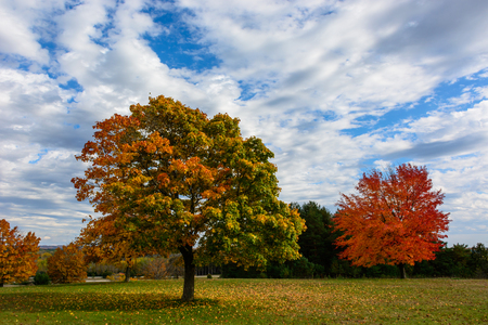 Autumn, fall landscape with a tree full of colorful, falling leaves, sunny blue sky. Fully red tree on the background.