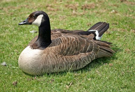 canadensis: branta canadensis Stock Photo