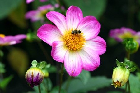 A honeybee on a bright pink and white dahlia in a garden photo