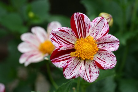 Autumn garden with red and white Dahlia flowers Stock Photo - 1483825