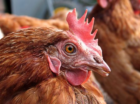 Close-up of a brown chicken in a henhouse