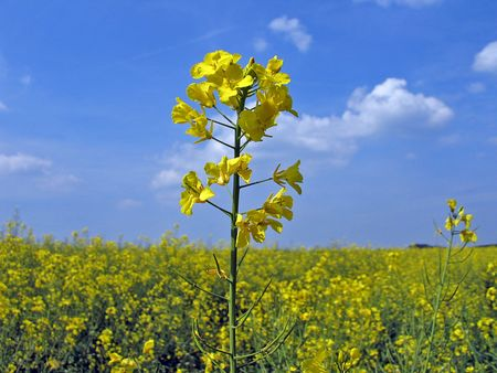 oilseed: Field with Rapeseed (Brassica napus) against a clear blue sky in the summer Stock Photo