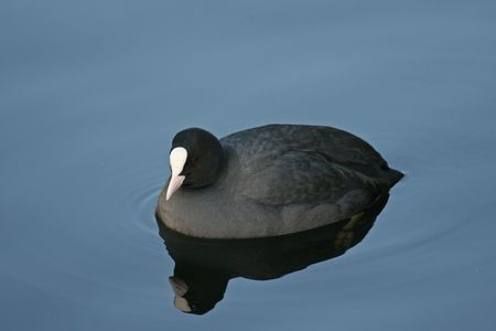 coot: Eurasian Coot (Fulica atra) swimming in a lake Stock Photo