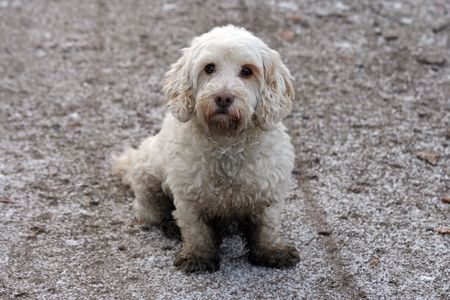 Tibetan terrier puppy, covered with mud and dirt Stock Photo