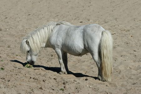 shetland pony: White Shetland pony on the beach, eating Stock Photo