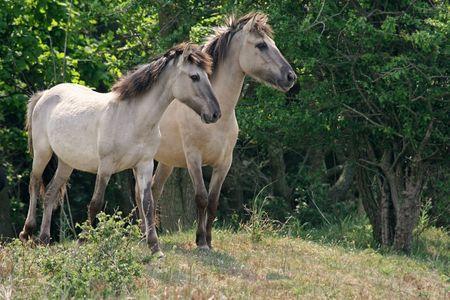 Semi-wild Polish Konik horses in a forest