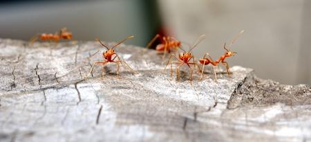 Las hormigas rojas de la acci�n la lucha en el modo macro Foto de archivo