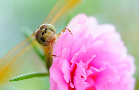 Closeup of Dragonfly on flower