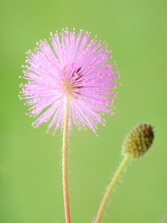 flower close up of mimosa pudica
