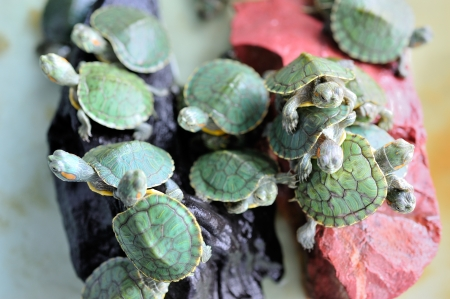 Group of red-eared slider Stock Photo - 15711083