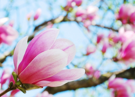 primavera, flores de magnolia del árbol