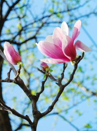 spring magnolia tree flowers Stock Photo - 15477298