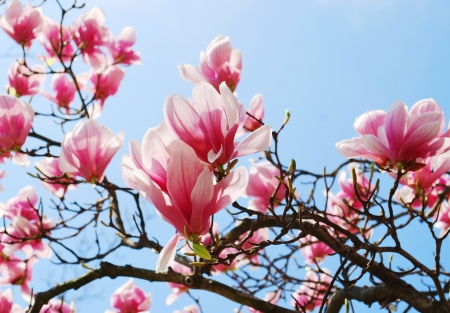 spring magnolia tree flowers 版權商用圖片 - 15477300