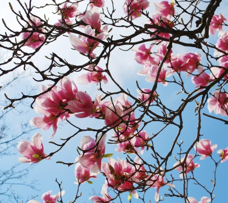 the magnolia: spring magnolia tree flowers Stock Photo