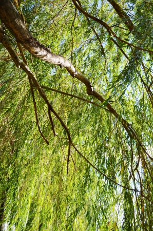 weeping willow: willow tree Stock Photo