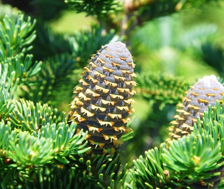 pine tree with cone