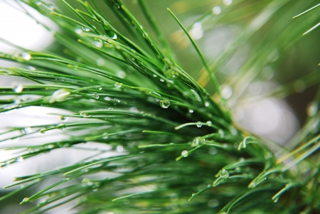 pine with drops photo