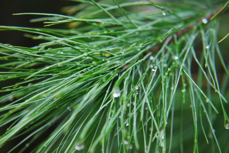 pine with drops Stock Photo