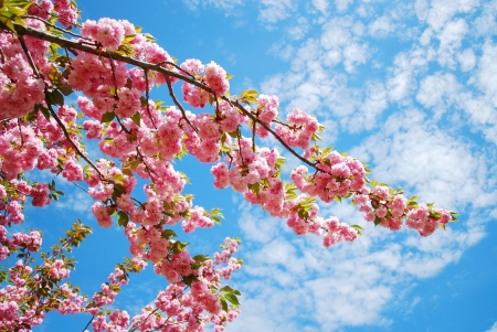 Japanese cherry blossom in spring Stockfoto