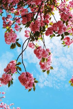 flor de sakura: Flor de cerezo japon�s en la primavera