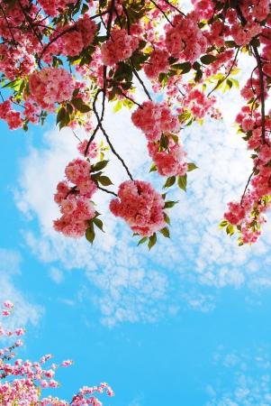cerezos en flor: Flor de cerezo japon�s en la primavera