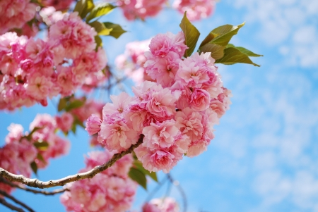 arbol de cerezo: Flor de cerezo japonés en la primavera