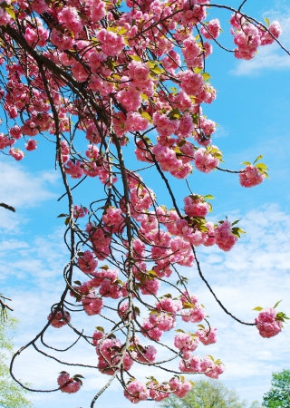Flor de cerezo japon�s en la primavera photo