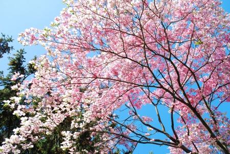 arbol de pascua: primavera, flores de magnolia del �rbol