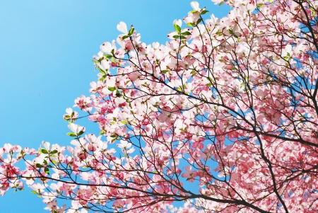 spring magnolia tree flowers Stock Photo - 15734626