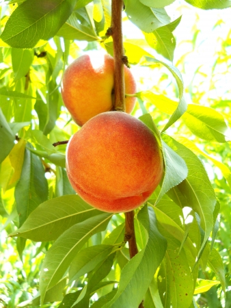 Ripe Organic Peach Stock Photo - 15734561