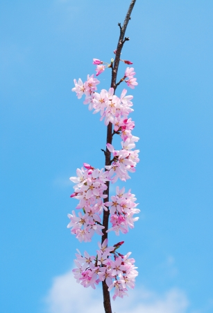 Blooming cherry tree branches