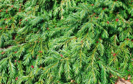 fir branches background photo