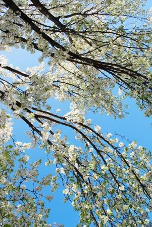 cherry blossom tree Stock Photo - 15757972