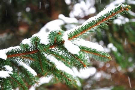 winter fir branches photo
