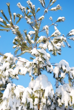 winter pine tree photo