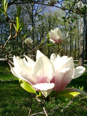 spring magnolia tree flowers Stock Photo - 16632683