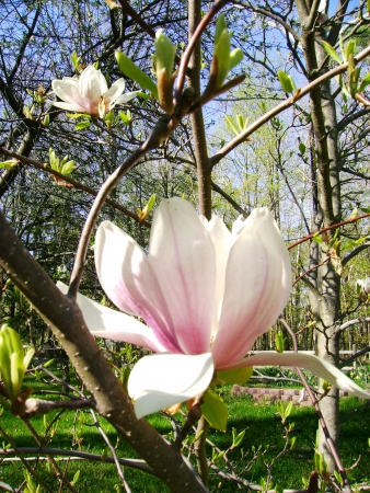 spring magnolia tree flowers photo