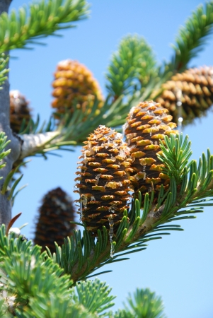 Branches of a pine with cones Banco de Imagens