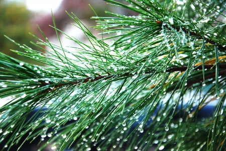 pine branches with drops