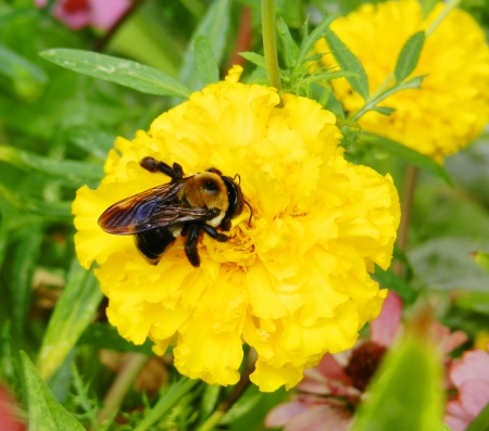 bumble bee on the yellow flower Stock Photo
