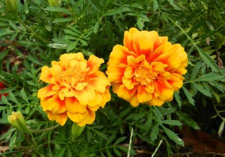 tagetes: Marigold flower Stock Photo