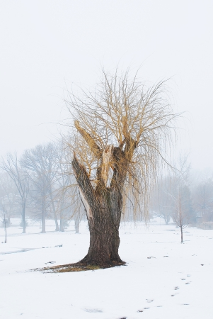 winter willow tree photo