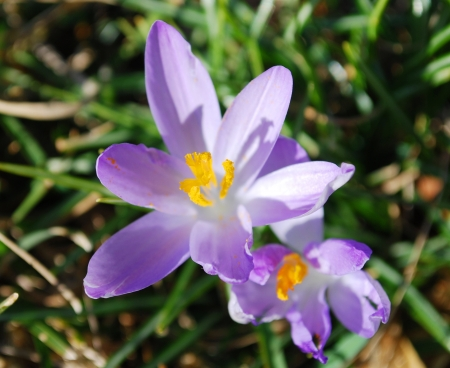 Crocus flowers in the park photo