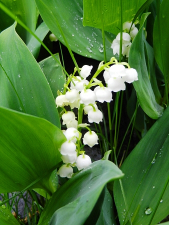 Lily of the valley Stock Photo - 17060708