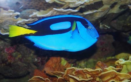 surgeon fish: mar tropical pez cirujano en el acuario